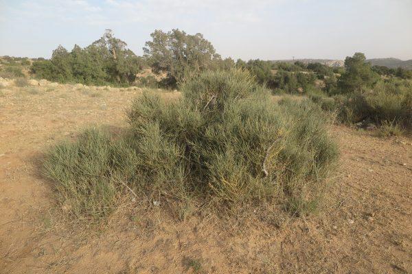 Ephedra pachyclada Boiss.
