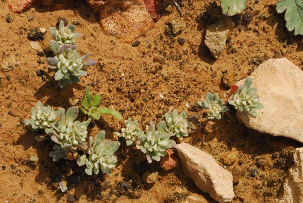 אליסון מלול Alyssum marginatum Steud. ex Boiss.