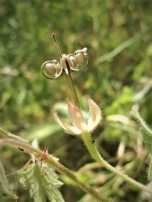 גרניון עגול Geranium rotundifolium L.