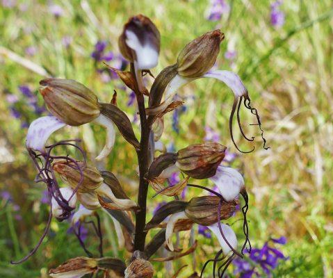 Himantoglossum comperianum (Steven) P.Delforge