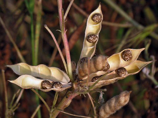 תורמוס צר-עלים Lupinus angustifolius L.