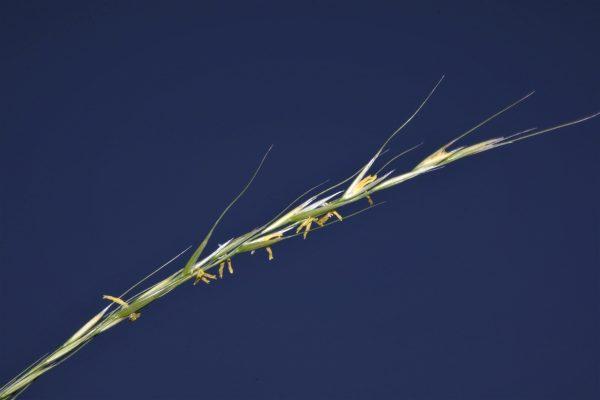 מלעניאל קצר-מלענים Stipa bromoides (L.) Doerfl.