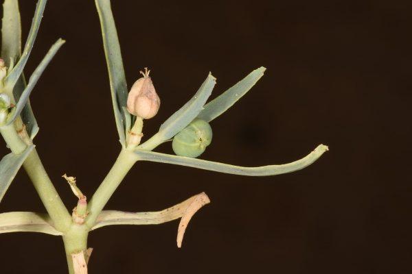 חלבלוב סיני Euphorbia grossheimii (Prokh.) Prokh.