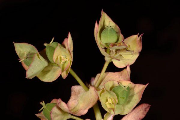 חלבלוב עב-זרע Euphorbia phymatosperma Boiss. & Gaill.
