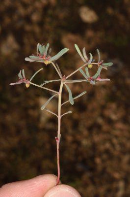 Euphorbia szovitsii isch. & C.A.Mey.