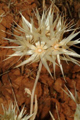 שרדיניה מוצנית Chardinia orientalis (L.) Kuntze