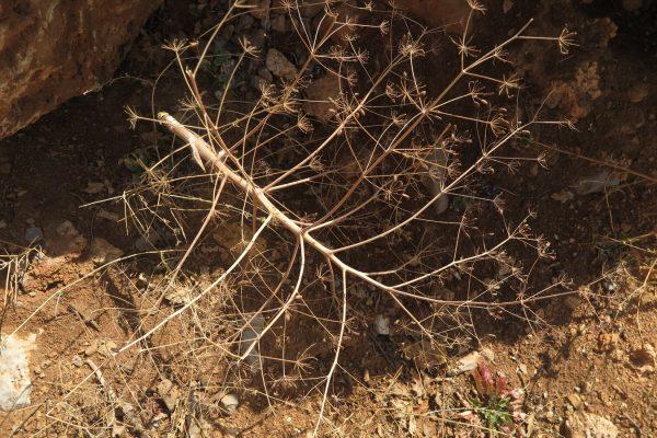 כלך דו-דורי Ferula biverticillata Thieb.