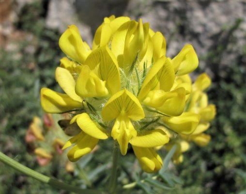 קדד אהרנברג Astragalus ehrenbergii Bunge