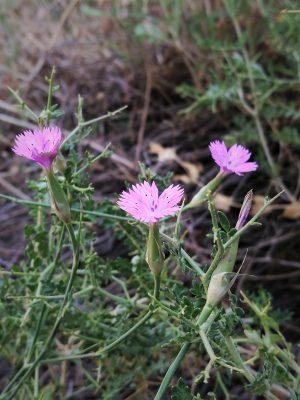 ציפורן חד-שנתי Dianthus tripunctatus Sm.