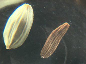 זרע מרור מכחיל משמאל וזרע מרור הגינות מימין. הזרע רחב וחסר קמטי רוחב