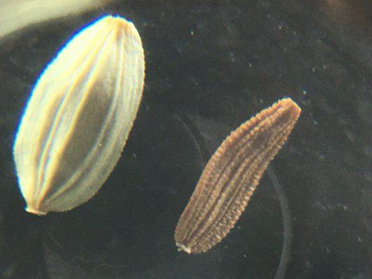 מרור מכחיל Sonchus asper (L.) Hill.