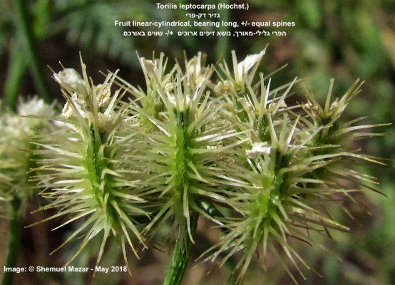 Torilis leptocarpa (Hochst.) C.C.Towns.