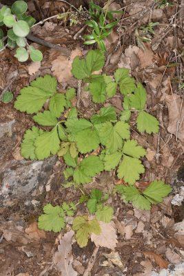 גיאון היערות Geum urbanum L.