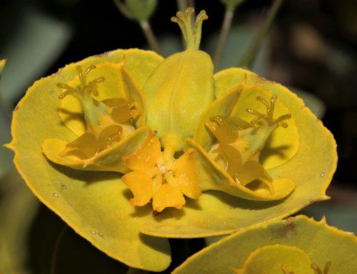 חלבלוב מול-הלבנון Euphorbia antilibanotica Mouterde