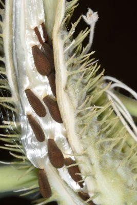 מסמור סיני Gomphocarpus sinaicus Boiss.