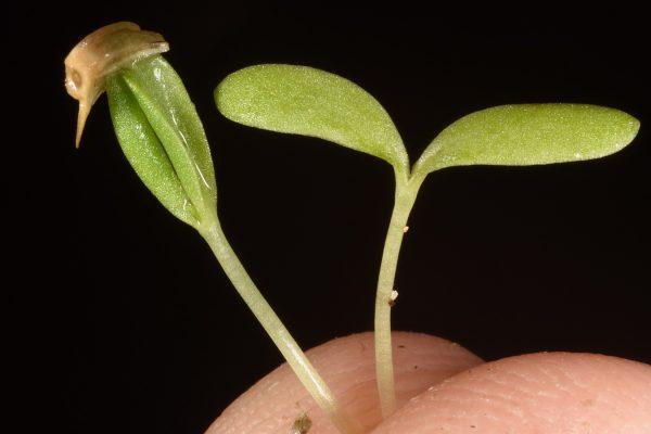 חרצית דביקה Heteranthemis viscidehirta Schott