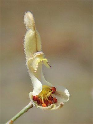 בר-דורבן הסירה Consolida scleroclada (Boiss.) Schroedinger