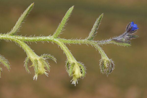 שניין שיכני Heterocaryum szovitsianum (Fisch. & C.A.Mey.) A.DC.