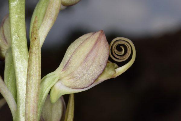 רצועית הגליל Himantoglossum caprinum (M.Bieb.) Spreng.