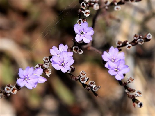 עדעד רותמי Limonium virgatum (Willd.) Fourr.