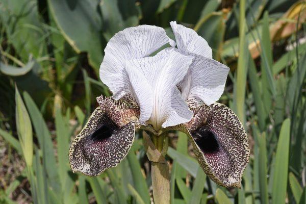 אירוס נצרתי Iris bismarckiana Regel