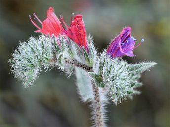 צמח רב-שנתי, הכותרת אדומה והופכת לסגולה עם התבגרותה