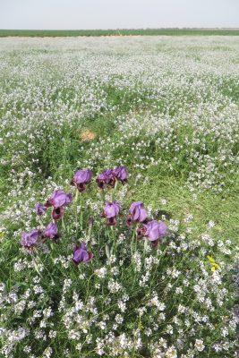 Iris mariae Barbey