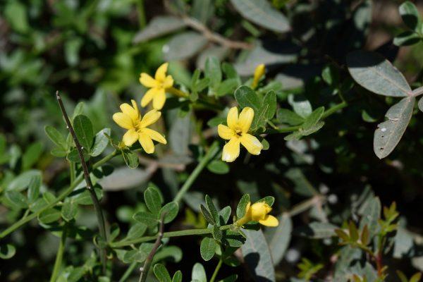 יסמין שיחני Jasminum fruticans L.