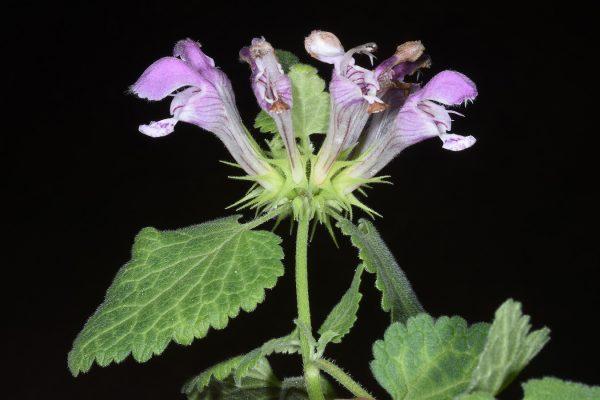 נזמית קטועה Lamium truncatum Boiss.