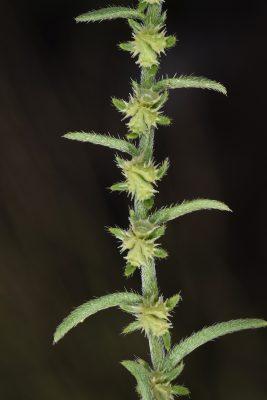 Lappula sessiliflora (Boiss.) Guerke