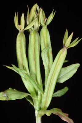 סגולית הכלאיים Legousia hybrida (L.) Delarbre