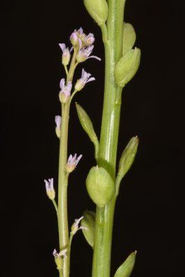 שחליים דוקרניים Lepidium spinescens DC.