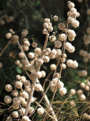 סרפד הכדורים Urtica pilulifera L.