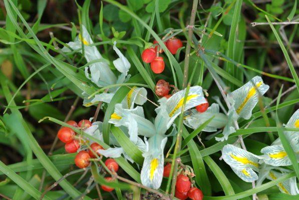 Iris palaestina (Baker) Boiss.