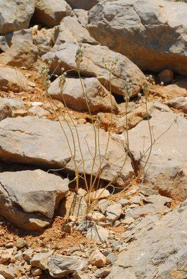 Allium hermoneum (Kollmann & Shmida) Brullo, Guglielmo, Pavone & Salmeri