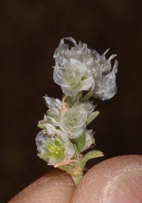 Paronychia sinaica Fresen.