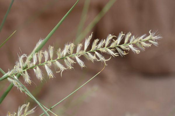 זיף-נוצה מדוקרן Pennisetum divisum (J.F.Gmel.) Henrard
