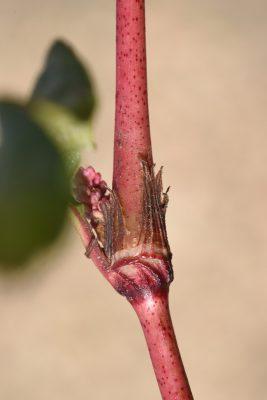 Persicaria lapathifolia (L.) S.F. Gray