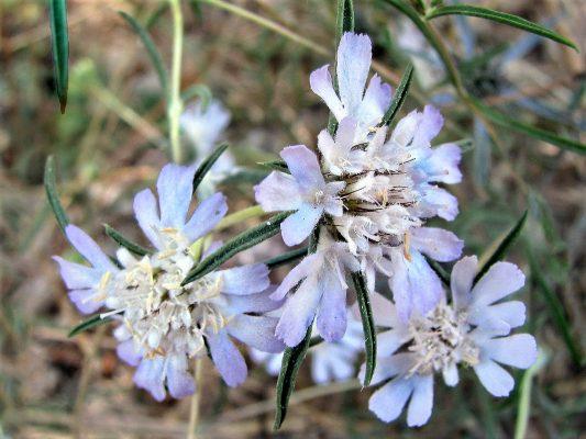 תגית קיצית Lomelosia argentea (L.) Greuter & Burdet