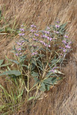 שלהבית הגלגל Phlomis herba-venti L.