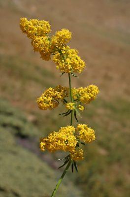 דבקה אמיתית Galium verum L.