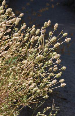 לחך הודי Plantago arenaria Waldst. & Kit.