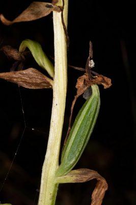 מרונית סרגלית Platanthera holmboei Lindb.f.