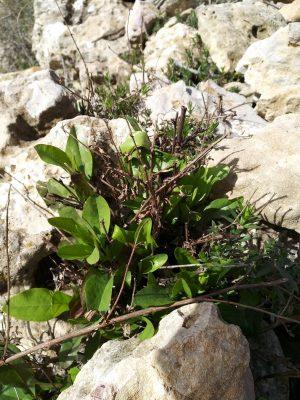 עפרית אירופית Plumbago europaea L.