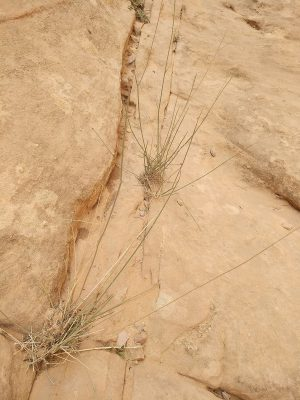 עבדור הסלעים Pycnocycla saxatilis Danin, Hedge & Lamond