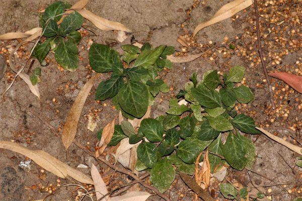 ליסימכיה מסופקת Lysimachia dubia Sol.