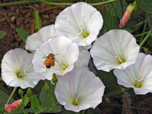 חבלבל השדה Convolvulus arvensis L.