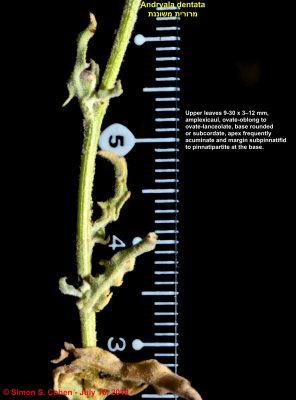 מרורית משוננת Andryala dentata Sm.