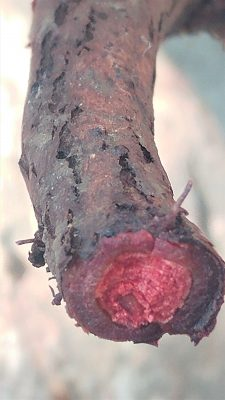 פואת הצבעים Rubia tinctorum L.