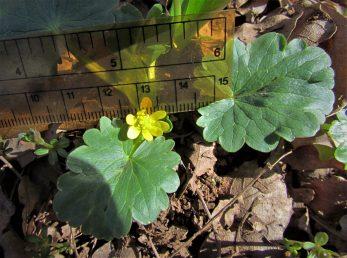 הפרח קטן פורח במרץ לפני בוא האביב המירומי החרמון